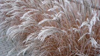 okrasne-travy-jsou-kouzelne-zvlaste-pri-namraze-a-prvni-snehove-nadilce.-352x198.jpg