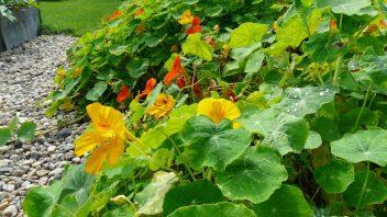 semena-lichorerisnice-jsou-pochoutkou-pro-nektere-uzitecne-zivocichy.-352x198.jpg