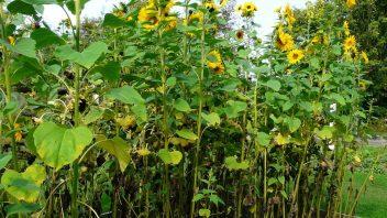 slunecnici-rozhodne-nepodcenujte-je-to-perfektni-zdroj-potravy-pro-semenozrave-druhy.-352x198.jpg