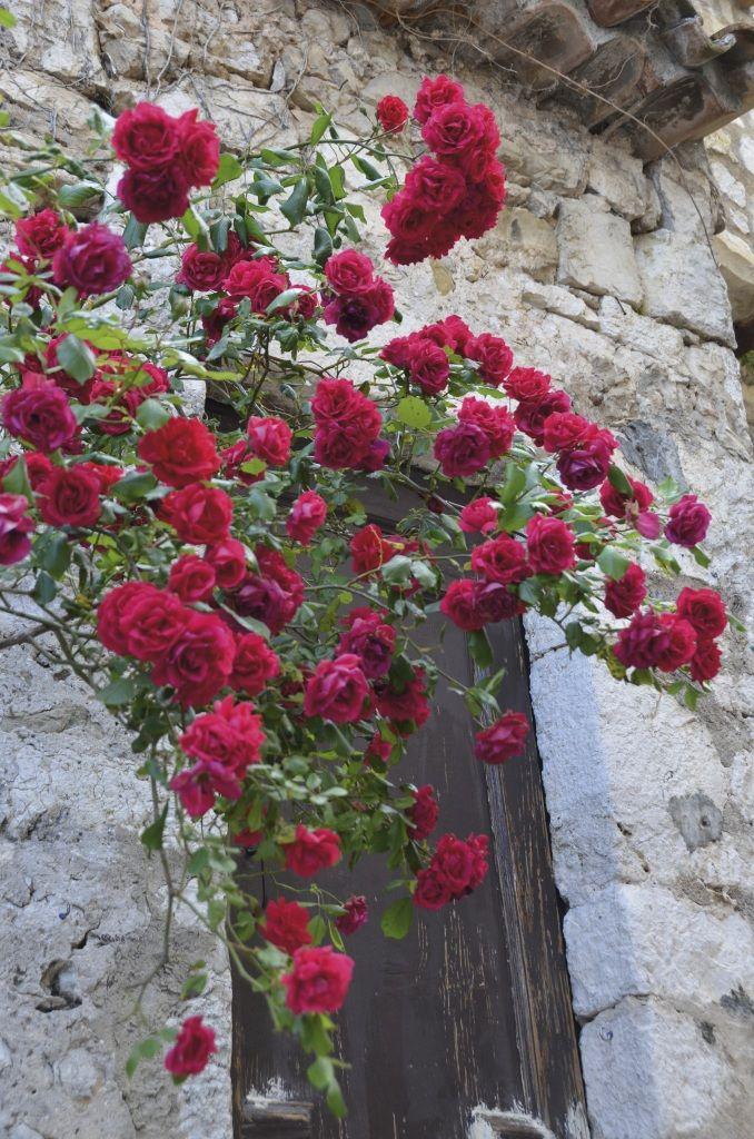 10ruze-popinava-paulus-scarlet-climber_2_zdroj-obi.jpg