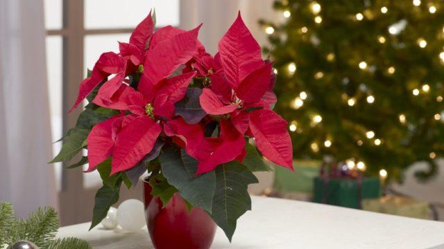 Mezi nejkrásnější vánoční dekorace patří živé květy