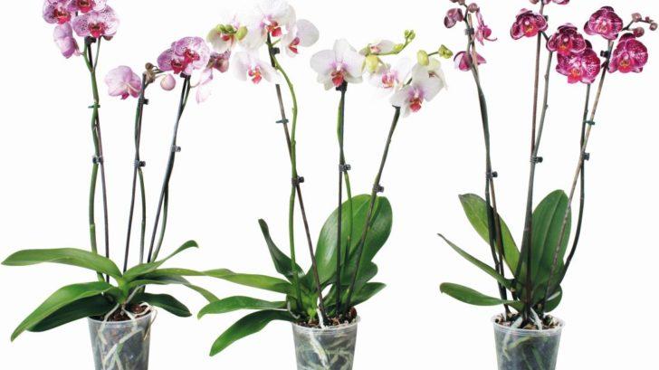 4_4353439_phalaenopsis_3vyhonovy_zdroj-obi-728x409.jpg