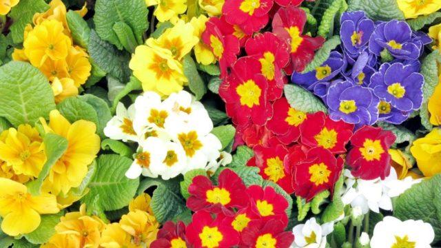 První poslové jara – pestrobarevné primule