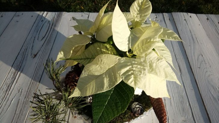 08_trivyhonva-poinsettia-je-pro-vyzdobu-ledove-misky-idealni-kvetina.-728x409.jpg