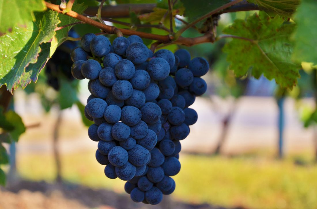 v-soucasne-dobe-mnozi-z-nas-den-sv.-martina-neslavi-do-povedomi-kazdeho-se-ale-urcite-zapsalo-svatomartinske-vino-coz-je-prvni-letosni-vino.jpg