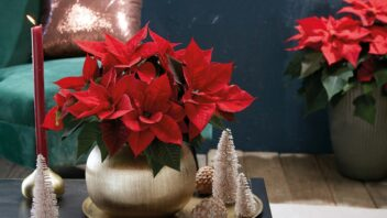 2020_poinsettia_01000_christmas_green_spirit_26-352x198.jpg