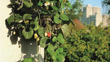 balkonove_jahody_web-352x198.jpg